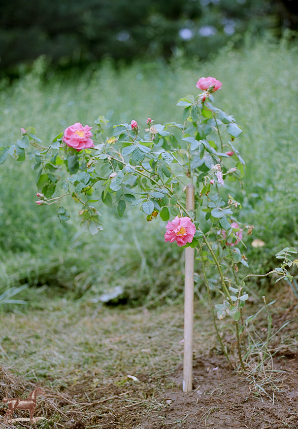rodeoandcophoto_wildroses-1-4