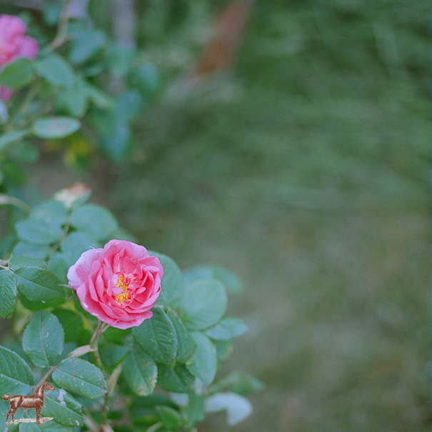 rodeoandcophoto_wildroses-1-5